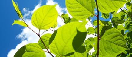 How To: Deal Japanese Knotweed