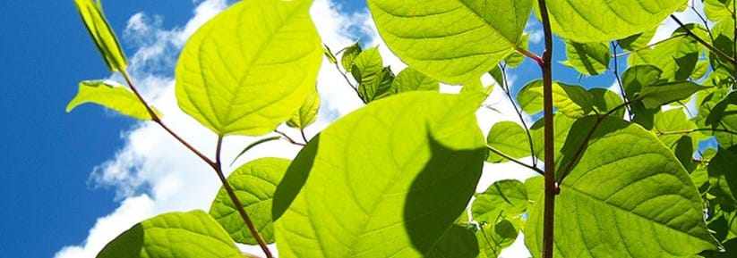 Factsheet: Japanese Knotweed